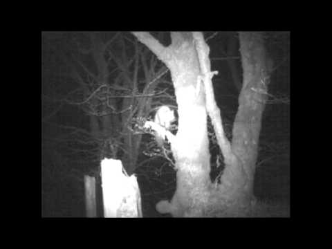Thumbnail: Pine marten At South Laggan