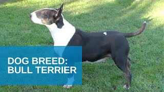 Dog Breed Video: Bull Terrier