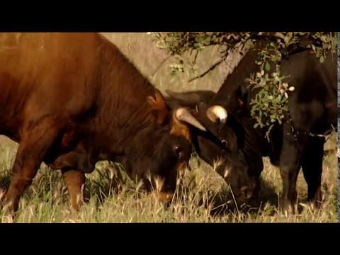 El Toro amigo / The Bull
