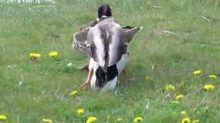 Duck Courting
