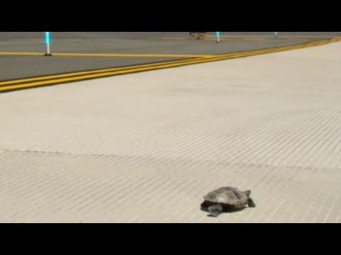 Turtles on to JKF Runway 