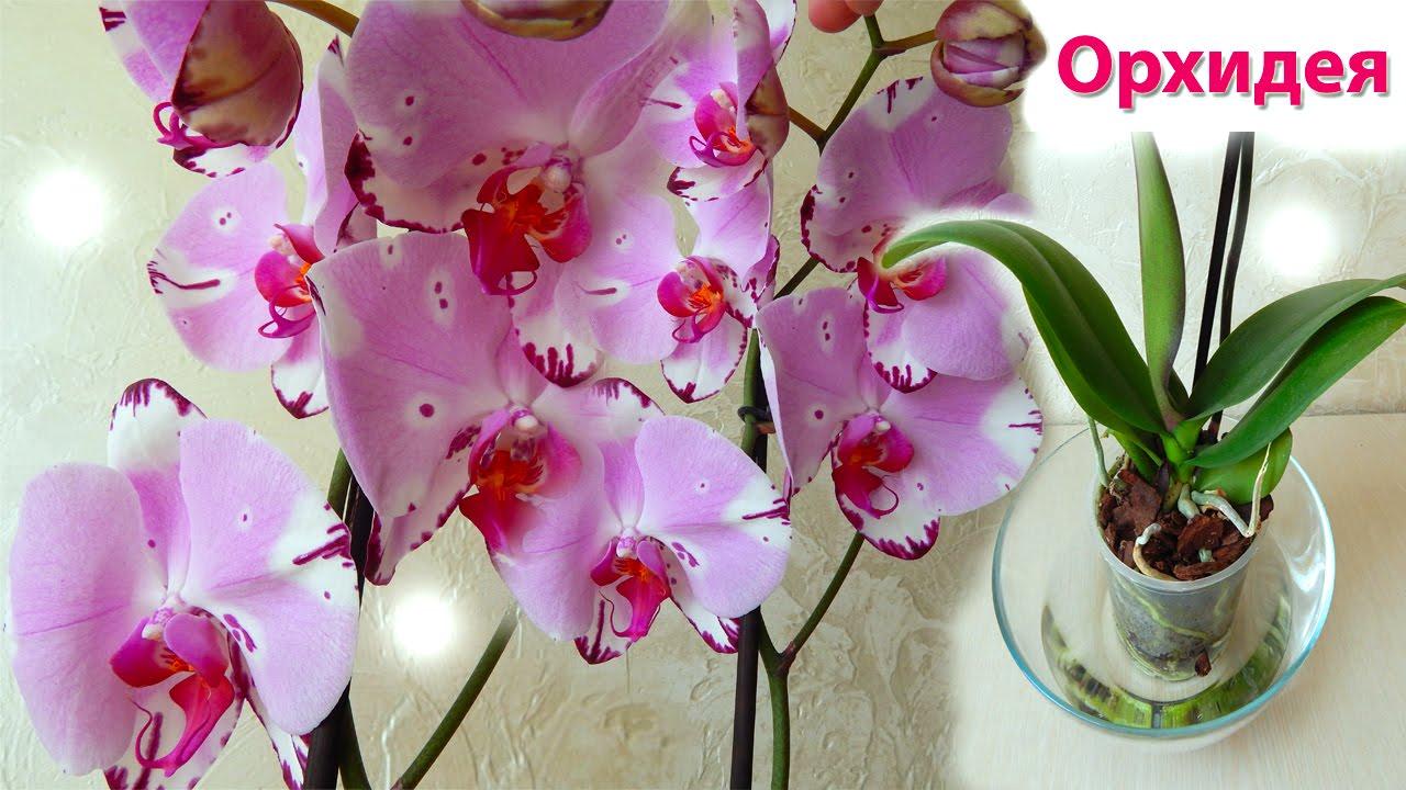 Орхидея фаленопсис уход в домашних условиях когда цветет