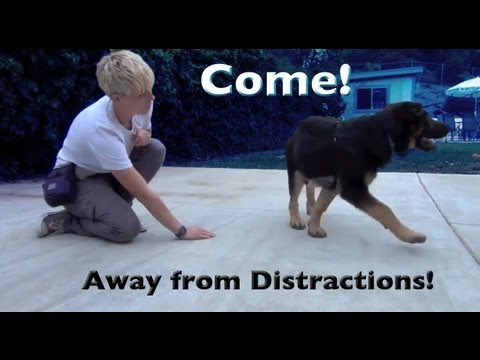 0 Come when called with distractions  clicker dog training