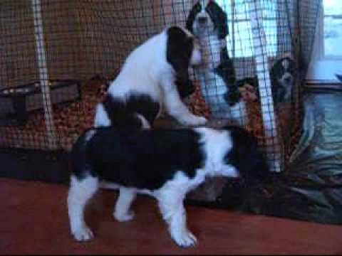 Jacob at 7 Weeks English Springer Spaniel Puppy Video