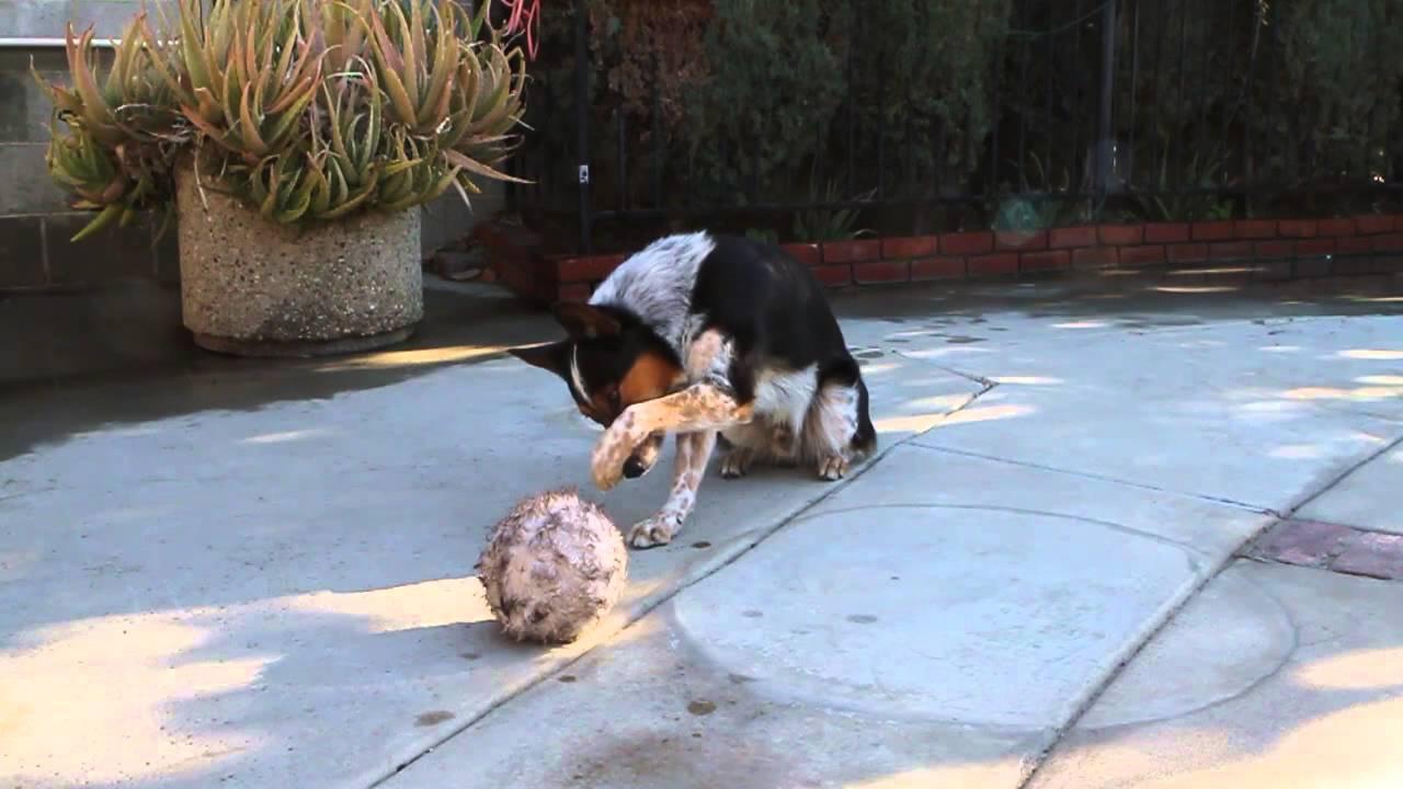 Le chien le mieux dressé du monde !