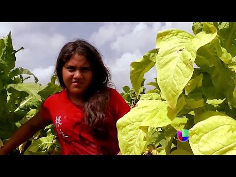 Menores de edad trabajan en campos de EEUU -- Noticiero Univisión