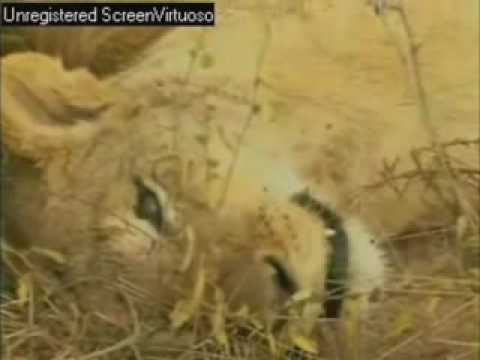 Warthog Kills Lion?