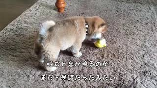 shiba dog puppy playing with toy