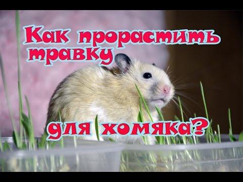 Как прорастить травку для хомяка? 💗 #травка для кошек, собак, грызунов и попугаев