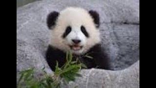 シャンシャンが平均台に挑戦💓The baby panda fell off the average table【パンダシャンシャンチャンネル】
