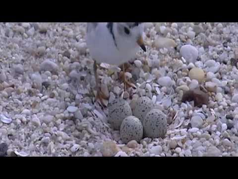 Working with partners to conserve piping plovers on the shores of Massachusetts