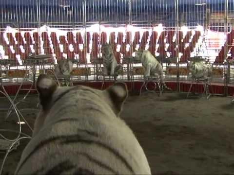 Reportaje Como domar tigres