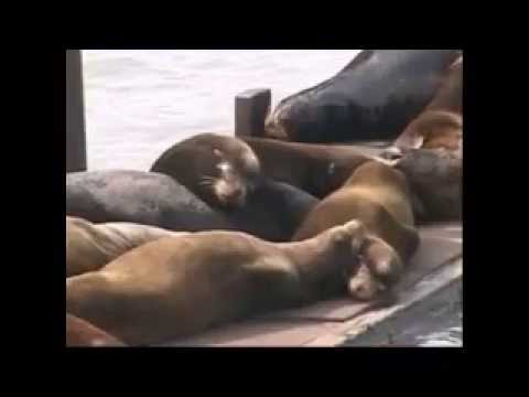Sea Lions of Oregon being killed by the ODFW