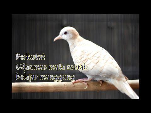 #15 Perkutut katuranggan udanmas albino putih mata merah bangkok Manggung Zebra dove