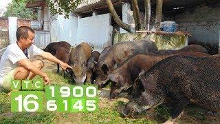 Nuôi lợn rừng bán online lãi hàng trăm triệu | VTC16