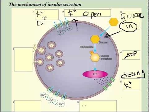 Insulin secretion at cellular level (beta cells) - A2 Science