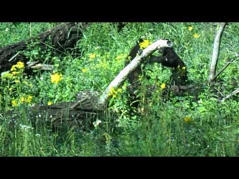 Yellowstone Bear Cubs