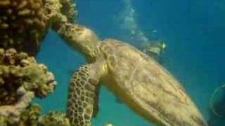 Sea Turtles Compilation 2006/2007 - Hurghada