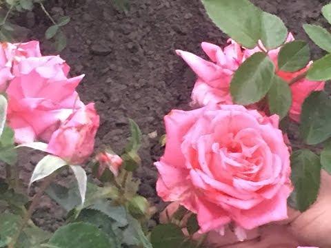 Чайно - гибридная роза . Обрезка летом . Уход .