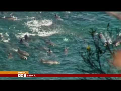 JAPAN DEFENDS DOLPHIN HUNT PRACTICE  - BBC NEWS