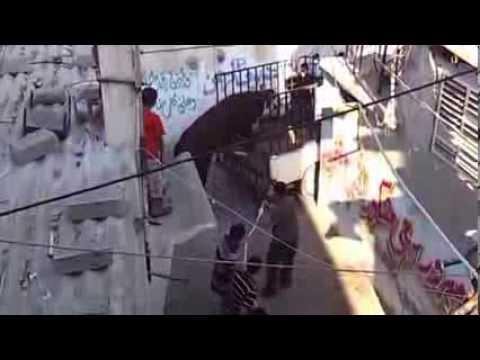 شاهد \هروب عجل في غزة ويصيب المواطنين اثناء محاولة ذبحه في عيد الاضحى