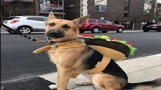 Best Funniest & Cutest German Shepherd Lexus Dogs Playing  Funny German Shepherd 2018 #ViralDog
