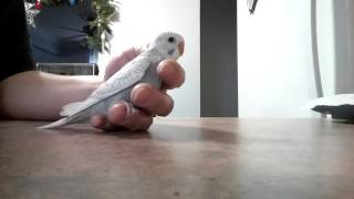 31 day old Baby Budgie. Taming time!