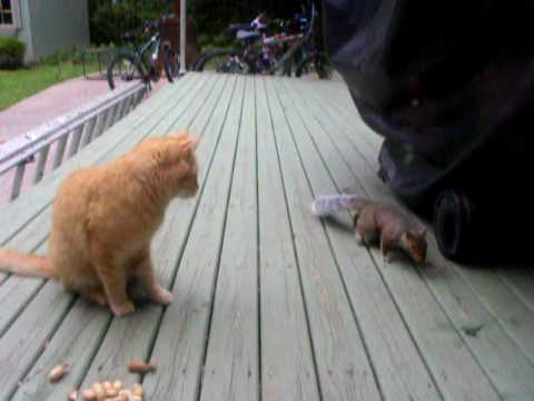 Squirrel steals peanuts from cat