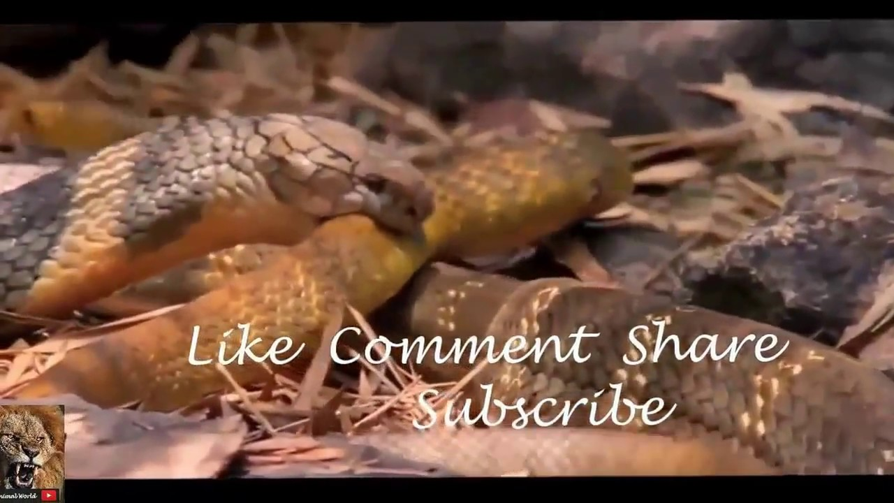 Videos giant snakes eating people