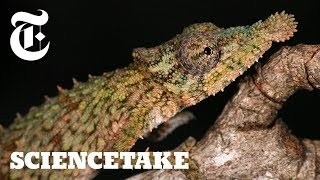 The Unmatched Speed of a Chameleon Tongue | ScienceTake