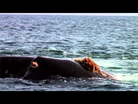 Act right now! Save the North Atlantic Right Whale - Full