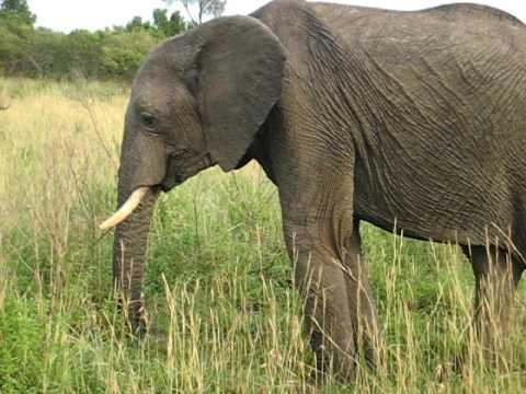 Elephant Eating Grass Elephant Eating Grass