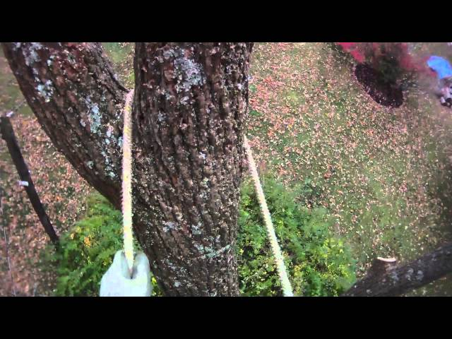 Walnut tree removal