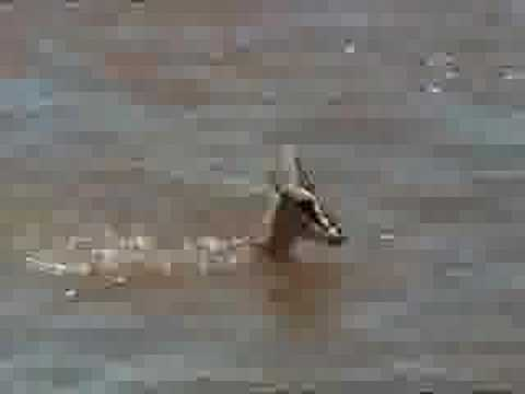 Crocodiles Obliterate Gazelles