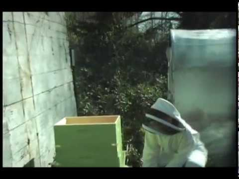 Our first honey bee colony. [N00bz :-)] This colony split a few months later. The swarm flew off and the daughter queens fought each other to death. We tried to re-queen, but, ultimately, the...