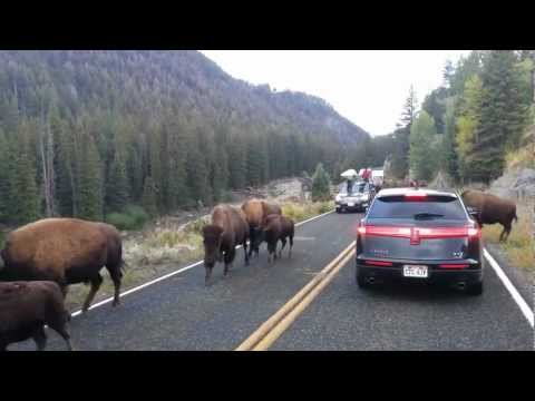 Bison hits car in Yellowstone