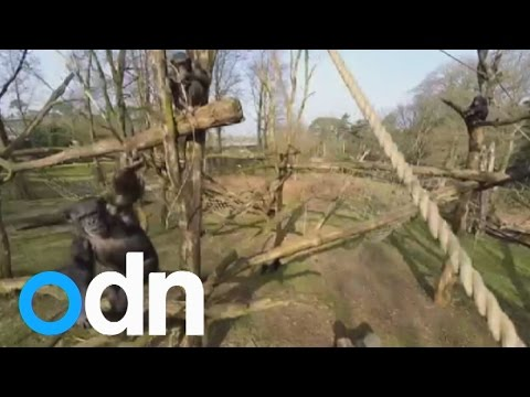 Chimpanzee knocks a drone out of the sky with a stick