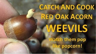 Catch and Cook Red Oak Acorn Weevils