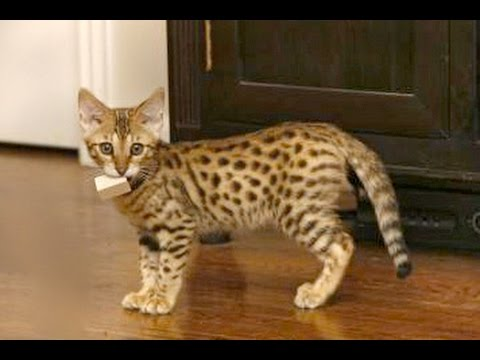Savannah Cats Are So Adorable  - Funny And Cute Big Cat Videos Compilation 2016