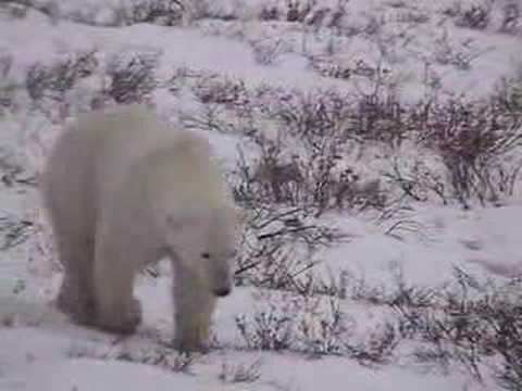 Polar Bears & Global Warming