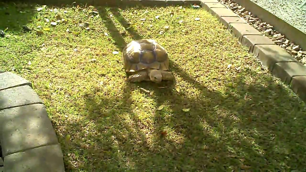 African Sulcata Tortoise Habitat Sulcata Tortoise Habitat
