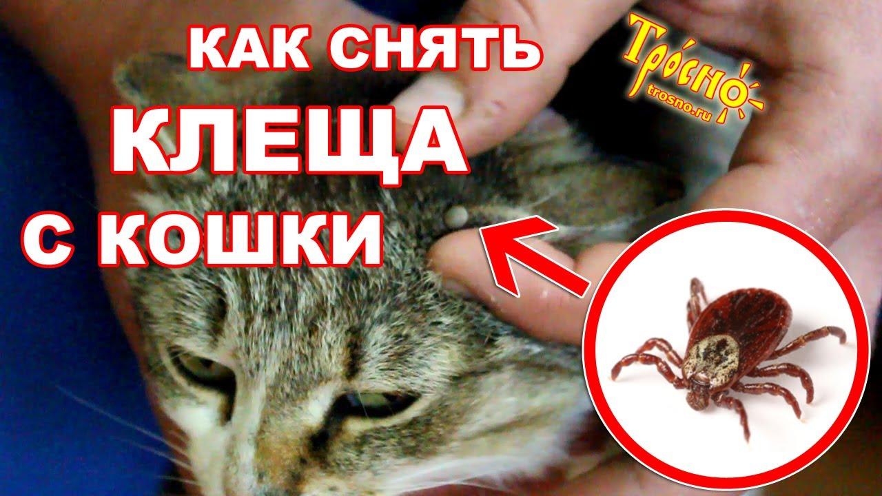 Удалить клеща с кота в домашних условиях