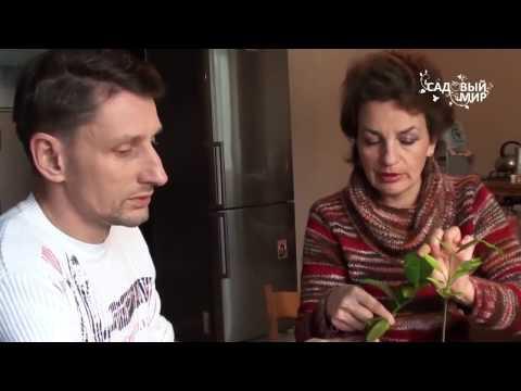 Прививка комнатного лимона и любых цитрусовых  Мастер класс Сергея Маринкова