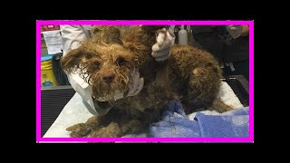 | Dog Rescue StoriesYou Won't Believe How Gorgeous This Rescue Dog Is Under All That Matted Hair!