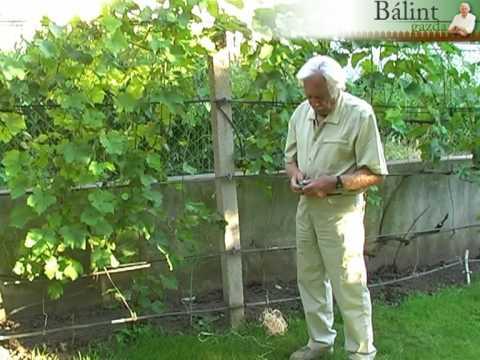 A szőlő zöldmunkái