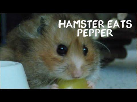 Hamster eats pepper