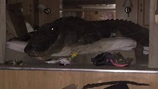 Massive Gator Takes Shelter On a Bed During Hurricane Harvey