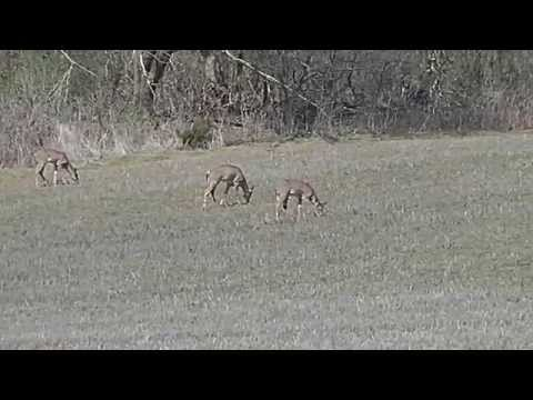 Whitetail Deer feeding Creative Commons media  by WillCFish fishing Tips and Tricks.