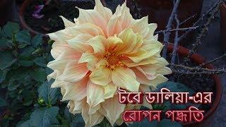 টবে ডালিয়া-এর রোপন পদ্ধতি । Dahlia | plantation in pot | plant care | Tree house Gardening| subtitle