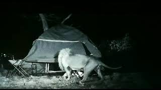 Unhappy Campers Escape Lions At Night